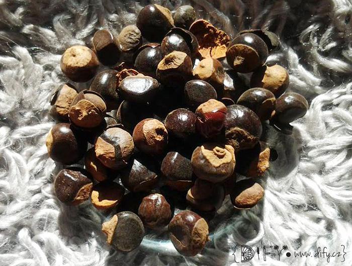 Celá semena guarany
