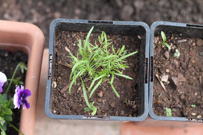 Pěstování mladých bylinek ze semínek