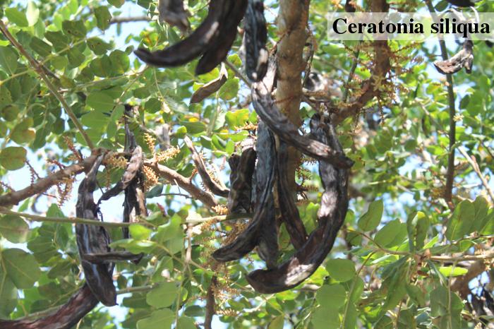 Karobovník, ze kterého se získávají lusky k výrobě karobu
